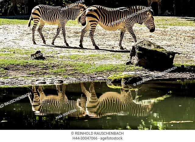 Steppenzebras (Equus quagga) im Freigehege spiegeln sich im Wasser des Weihers