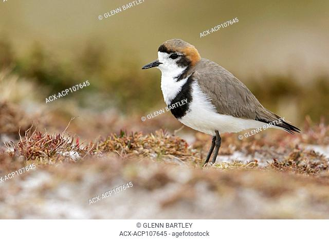 Two-banded Plover (Charadrius falklandicus) perched on the ground in the Falkland Islands
