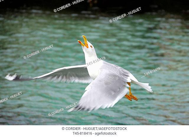 Yellow-legged Gull (Larus michahellis). Bouches-du-Rhône, France