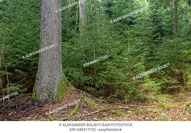 Old Norway Spruce tree and juvenile ones around, Bialowieza Forest, Poland, Europe