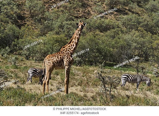 Kenya, region de Nakuru, parc national de Hell's Gate, zebre et girafe / Kenya, Nakuru county, Hell's Gate National Park, zebra and giraffe