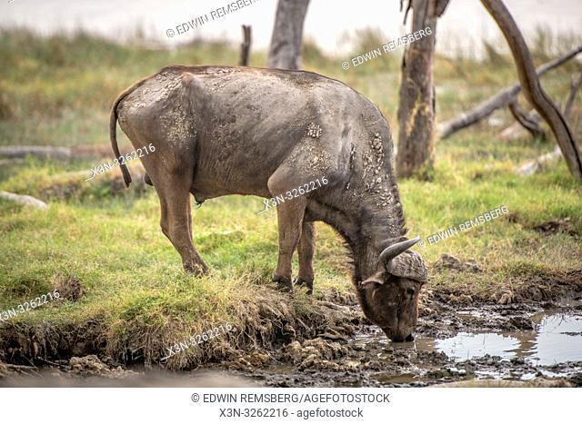 A Cape buffalo (Syncerus caffer) drinking water in Nakuru National Park, Kenya Nakuru National Park, Kenya