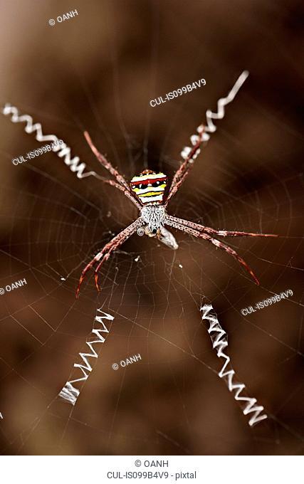 Wasp spider on web with prey, Luang Prabang, Laos