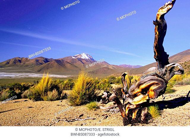 Quenoa tree (Polylepis besseri), in a desert, Chile, Monumento Nacional de Salar de Surire