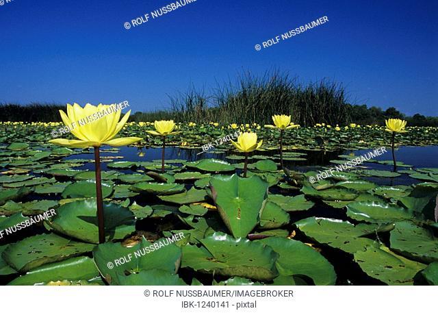 Yellow Waterlily (Nymphaea mexicana), blooming in lake, Sinton, Coastal Bend, Texas Coast, USA