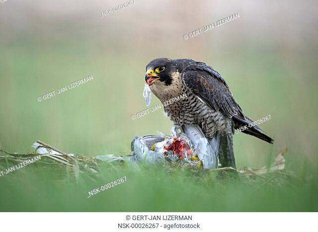 Peregrine Falcon (Falco peregrinus) with captured pigeon and eating it, The Netherlands, Overijssel, Kampen, Kampereiland