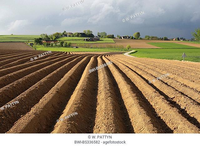 potato (Solanum tuberosum), potato field, Belgium