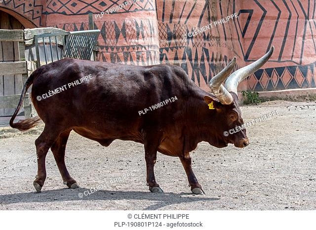 Ankole-Watusi bull, breed of domestic cattle of central Africa with enormous horns in zoo