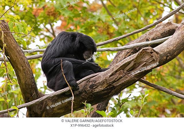 This one black siamang monkey is sitting in a tree very interested in something in his hands Background is intentionally blurred for artistic effect