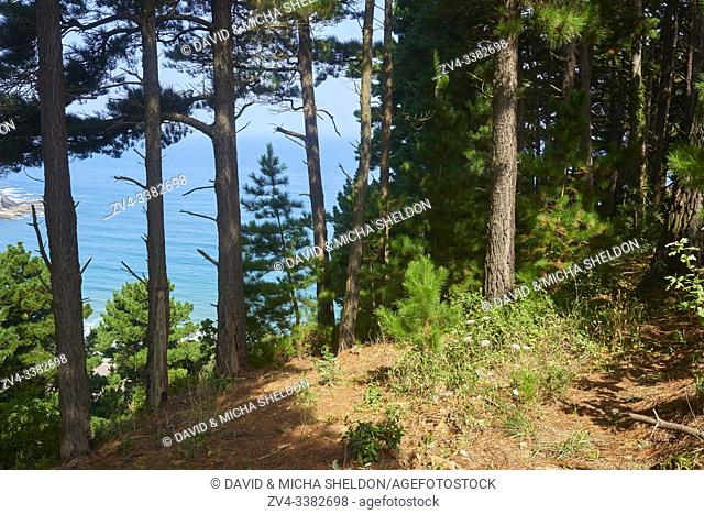 Black pine forest (Pinus nigra) mith the ocean in the background at the Camino del Norte, coastal path, Way of St. James, Camino de Santiago trail