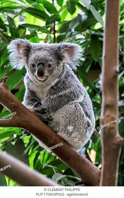 Koala (Phascolarctos cinereus) resting in tree, marsupial native to Australia