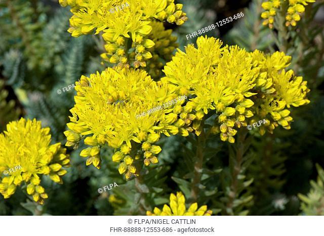 Sedum reflexum 'Blue Cushion' a rockery plant with yellow flowers, June