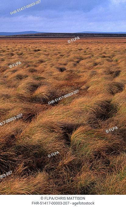 Purple Moor-grass Molinia caerulea tussocks, Hallam Moors, Peak District, Derbyshire, England