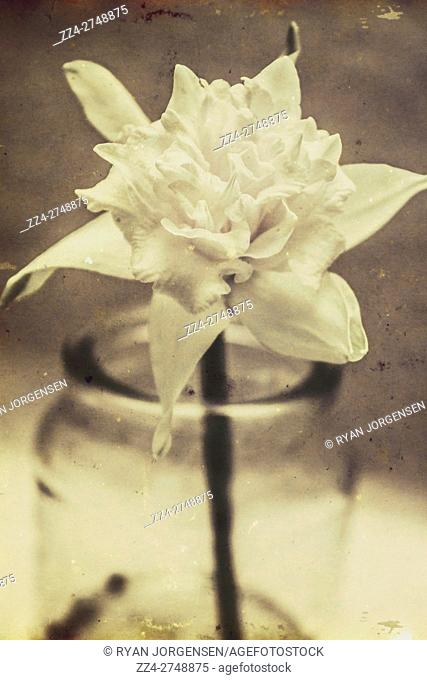 Vintage floral still life of a single pure white bloom in a glass jar, toned aged image with copy space. Retro greeting card background