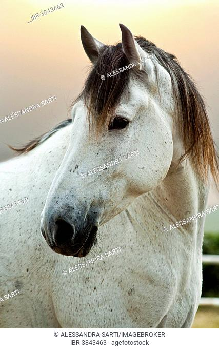 Lusitano horse, gelding, white horse, Andalusia, Spain