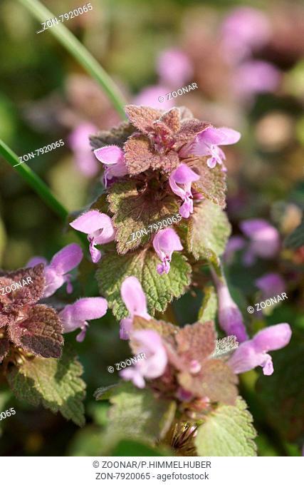 Lamium purpureum, Rote Taubnessel, Purple deadnettle