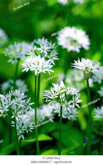Close-up, wild garlic blossoms, blossoming wild garlic, outside