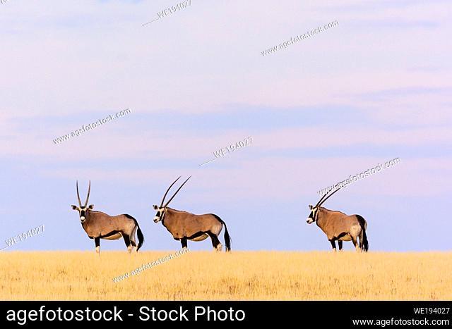 Gemsbok or gemsbuck (Oryx gazella). Desert Rhino Camp. Palmwag Concession. Namibia