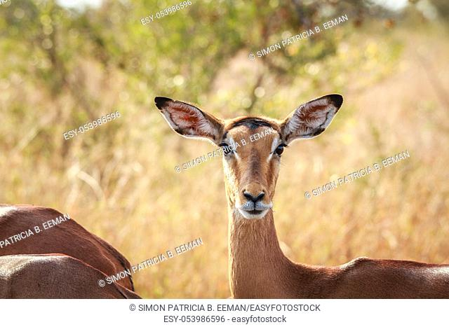 Female Impala starring at the camera