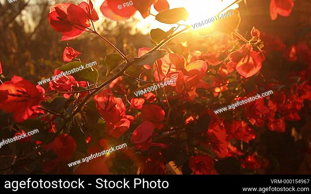 Bougainvillea flowers at sunset