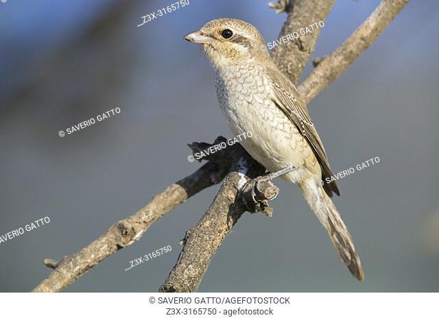 Isabelline Shrike (Lanius isabellinus), juvenile perched on a branch