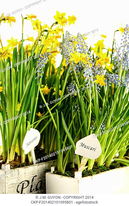 Grape hyacinth and narcissus spring potted flowers
