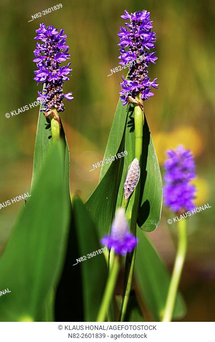 Pickerelweed (Pontederia cordata) is an exotic plant from North-America and Central-America. Pontederia cordata is in Europe a popular aquatic plant -...