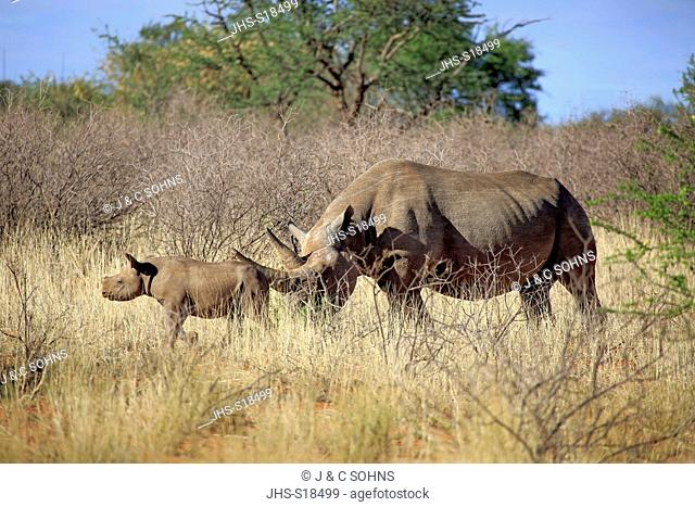 Black Rhinoceros, hook-lipped rhinoceros, (Diceros bicornis), adult female with young, feeding, Tswalu Game Reserve, Kalahari, Northern Cape, South Africa