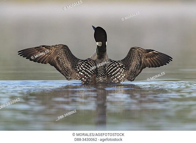 United States, Michigan, Common Loon (Gavia immer), wing flapping on a lake