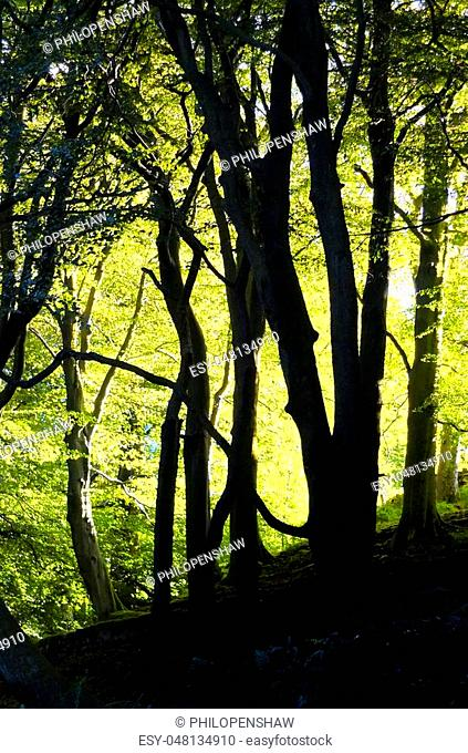 sunlight through beautiful spring beech woodland with glowing bright green morning illuminating foliage and tree trunks in silhouette