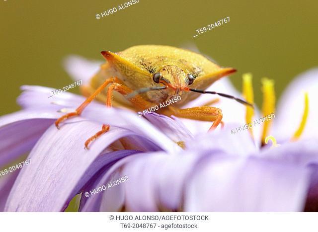 Stinkbugs. Nezara viridula