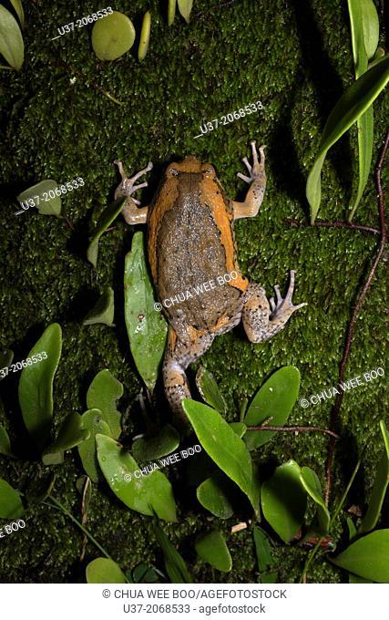 Toad. Image taken at MKS Botanical Garden, Kuching, Sarawak, Malaysia