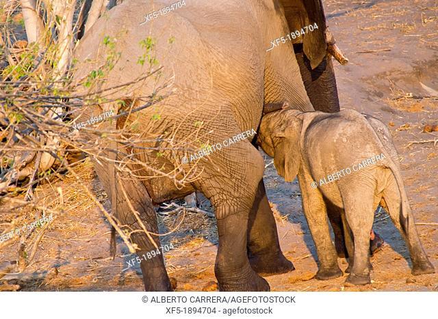 Elephant, Loxodonta africana, Chobe National Park, Botswana, Africa