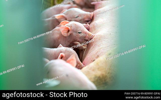 15 July 2020, Lower Saxony, Aurich: Piglets in a barn drink milk from the mother sow lying in the straw. Photo: Mohssen Assanimoghaddam/dpa