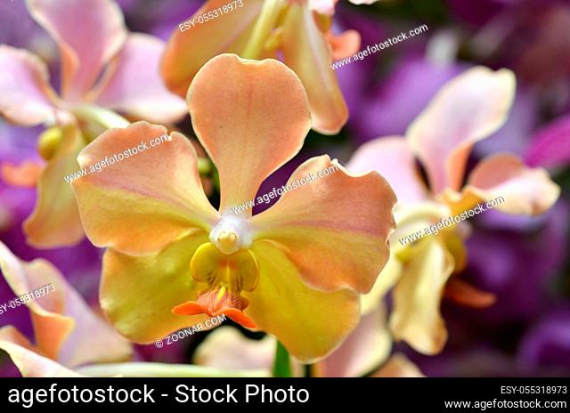 Beautiful purple orchid - phalaenopsis. Bouquet of flowers orchids