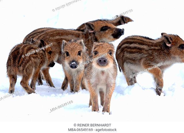 Wild boar shotes in the snow, Sus scrofa, close-up