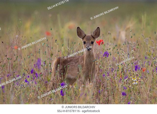 European Roe Deer (Capreolus capreolus). Fawn standing in a flowering meadow. Germany