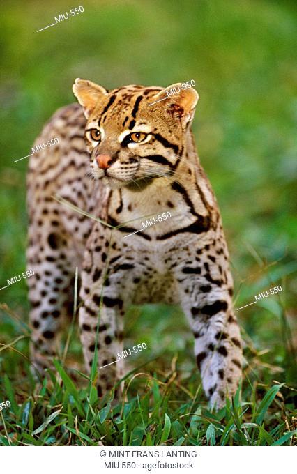 Ocelot, Leopardus pardalis, Pantanal, Brazil