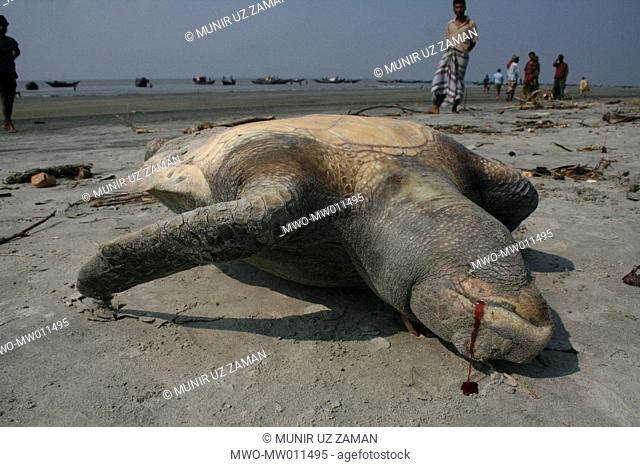 A dead turtle washed up on the beach at Alorkol in Dublarchar village after Cyclone Sidr left a path of destruction when it hit on Nov 15 The forest office has...