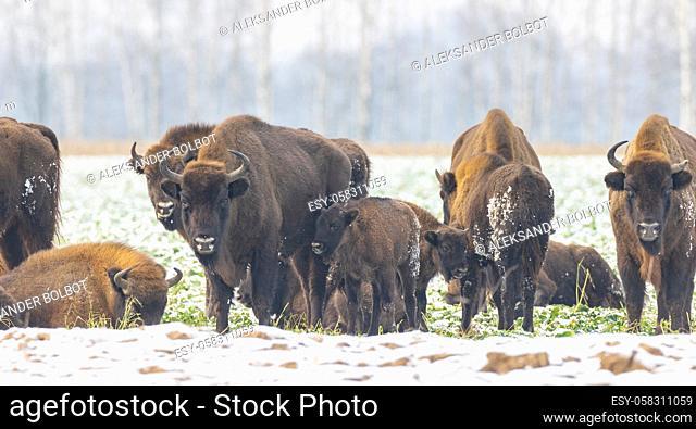 European Bison herd resting in snowy field, Podlaskie Voivodeship, Poland, Europe