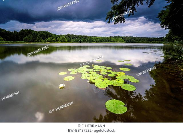 white water-lily, white pond lily (Nymphaea alba), blooming waterlily on the shore of lake Grosser Stechlinsee with thumderstorm clouds, Germany, Brandenburg