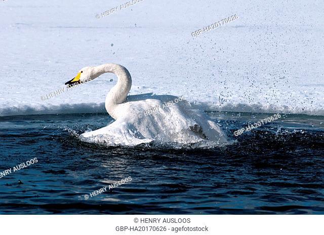 Swan Whooper, Swan, Cygnus cygnus (Cygne chanteur) Japan, 2017