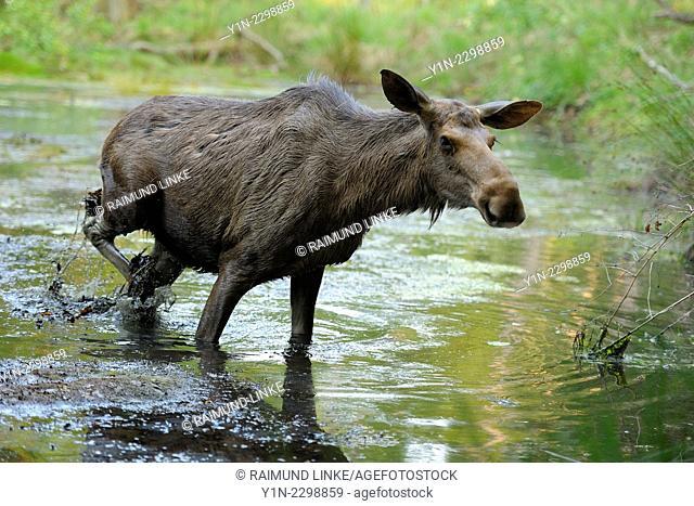 Moose, Elk, Alces alces, Cow in Pond, Germany
