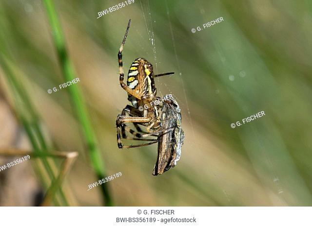 black-and-yellow argiope, black-and-yellow garden spider (Argiope bruennichi), with prey, Switzerland
