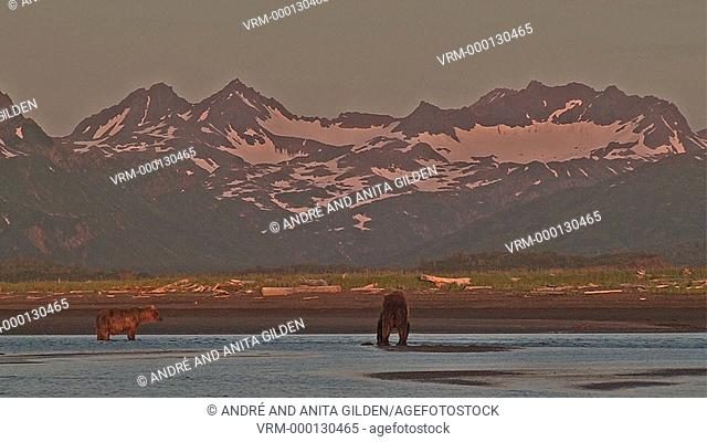 Grizzly Bear (Ursus arctos horribilis) waiting for Salmon in estuary in front of snowcapped mountains