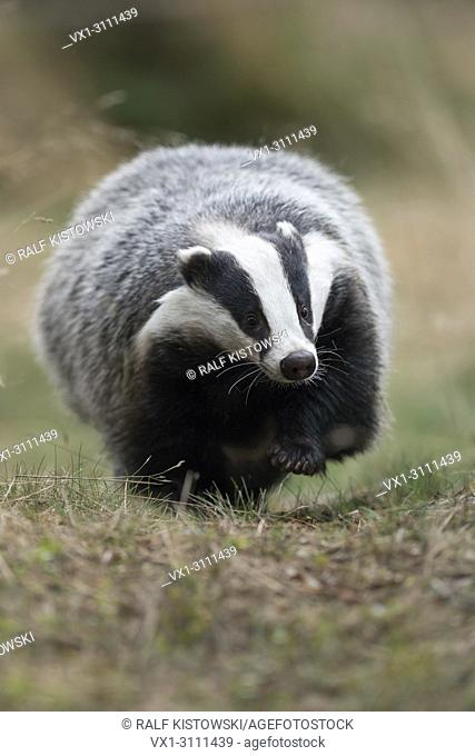 European Badger / Europaeischer Dachs ( Meles meles ), adult animal, walking along a typical badger's path, comes closer, frontal shot, Europe