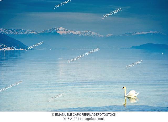 Swans in the Lago Maggiore