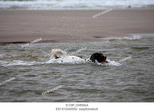 cute working type english springer spaniel playing in the sea