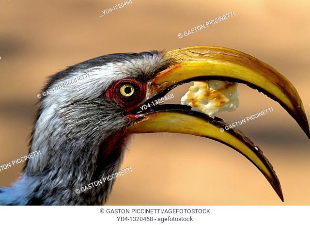 Yellowbillled Hornbill Tockus flavirostris, eating, Mabuasehube, Kalahari desert, Botswana