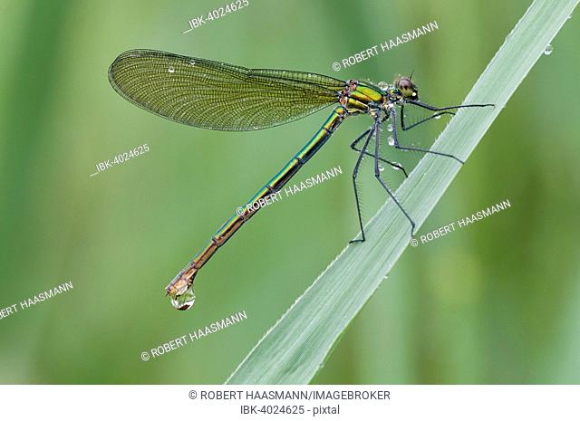 Banded Demoiselle (Calopteryx splendens) female, on blade of grass